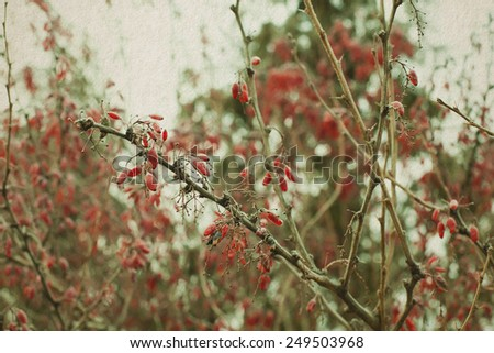 Winter nature landscape. Red berries. cotoneaster branch with berries. frozen. Soft focus. Vintage paper background. Effect of watercolor paper. - stock photo