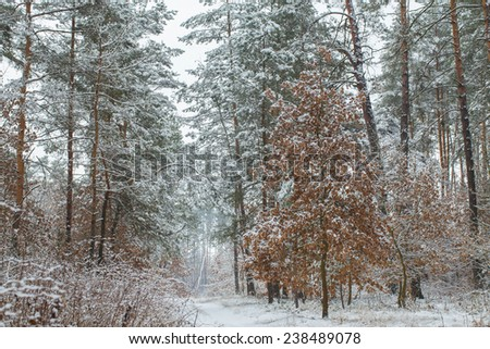 Winter oak. The forest consists of deciduous and coniferous trees. - stock photo