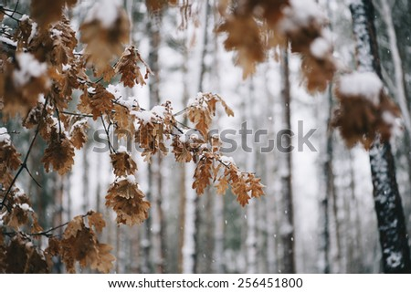 winter oak tree covered in snow during the snowfall close up - stock photo