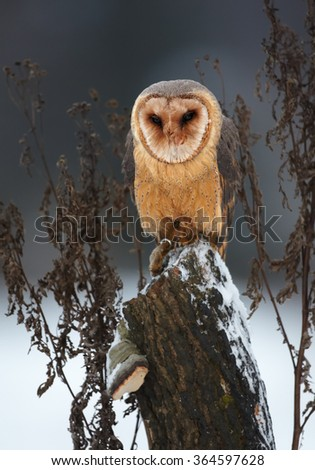 Winter photo Tyto alba guttata  Barn Owl perched on old trunk covered with snow. Dark grey blue background, vertical portrait. Front view. - stock photo