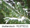 winter pine branches - stock photo