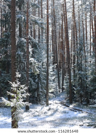 winter pine forest in the snow - stock photo