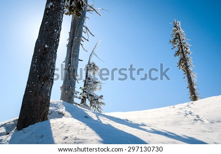 Winter Pine Landscape at Mount Rainier National Park - stock photo