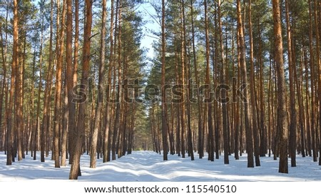 winter pine tree forest - stock photo