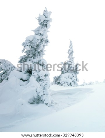 winter pine trees covered with fluffy snow isolated on white background
