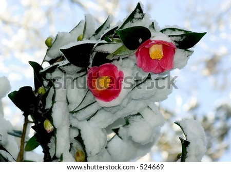 Winter pink flowers - stock photo