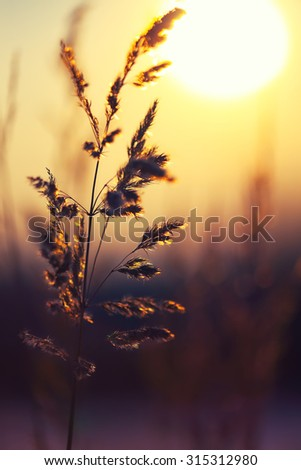 Winter Plant Silhouette at sunset. Shallow depth of field