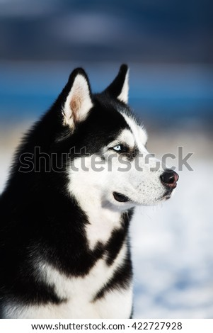 Winter portrait of the beautiful husky - stock photo