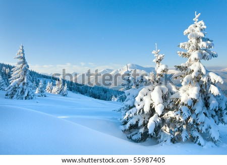 winter rime and snow covered Christmas fir trees on mountainside (Carpathian Mountains, Ukraine)