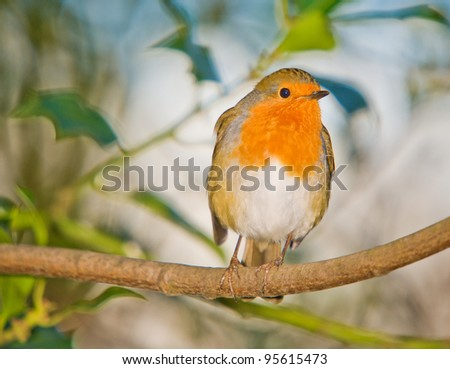 Winter Robin - stock photo