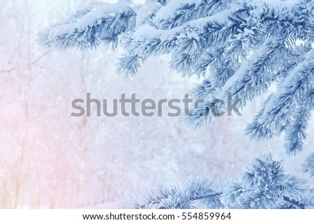 Winter scene with pine branches covered with frost and snow