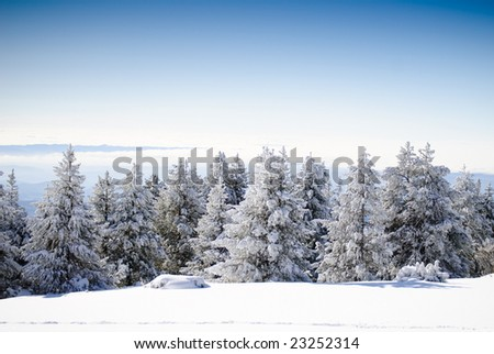 Winter Series 7 - Firs covered with snow - stock photo