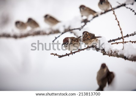 Winter shot of sparrows sitting on branch at snowy day - stock photo