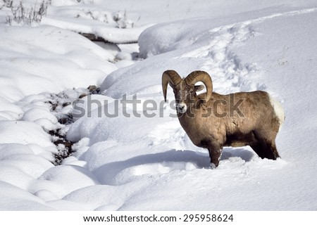 Winter Snow Big Horn Sheep in Yellowstone National Park. - stock photo