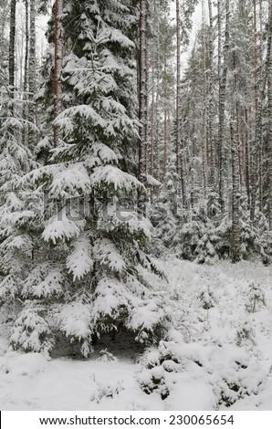 Winter snow covered trees. Estonia. - stock photo