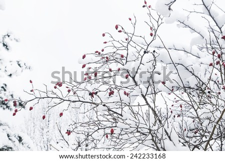 Winter Snow.White Trees with Frozen Red Fruits.  - stock photo