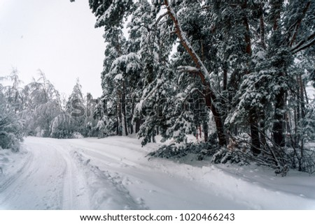 Winter snowy landscape in a forest in Russia with snowdrifts and pines