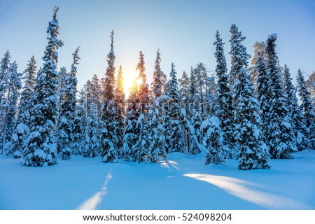 Winter Sunny Landscape with big snow covered pine trees - Beautiful North nature, Finland, Europe