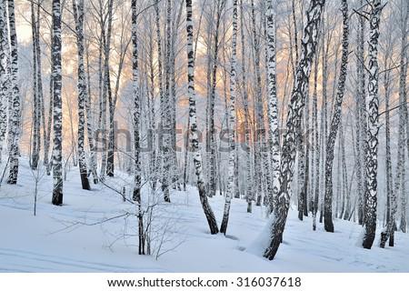 Winter Sunset in the birchwood. Pink sunlight among white trunks of birch trees. - stock photo