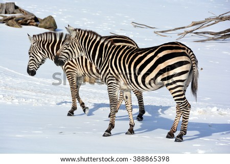 Winter time Zebras are several species of African equids (horse family) united by their distinctive black and white stripes. Their stripes come in different patterns unique to each individual. - stock photo