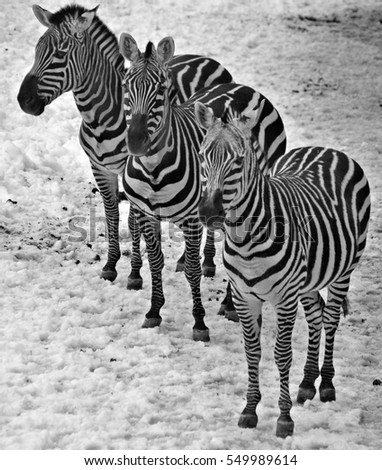 Winter time Zebras are several species of African equids (horse family) united by their distinctive black and white stripes. Their stripes come in different patterns unique to each individual