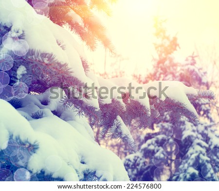 Winter trees with snow. Winter pine trees in mountains covered with fresh snow  - stock photo