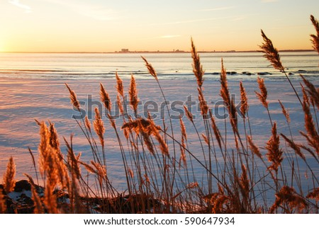 Winter view with fluffy reed flowers by the coast at sunset