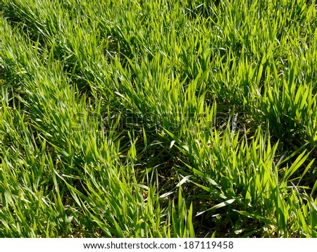 winter wheat field fragment at early spring - stock photo