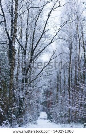 winter white  forest with fresh  snow,  toned