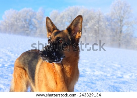 winter with a dog - a German shepherd on a white snow - stock photo
