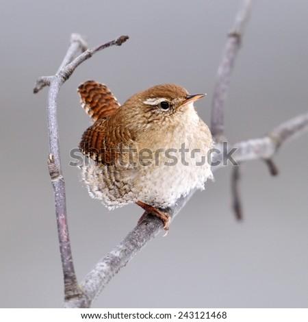 Winter wren in natural habitat ( Troglodytes troglodytes ) - stock photo