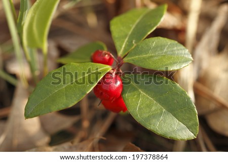 Wintergreen (Gaultheria procumbens) with Red Berries - Ontario, Canada - stock photo