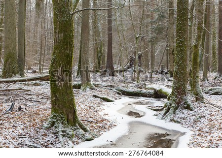 Wintertime old natural stand of Bialowieza Forest by partly frozen stream,Bialowieza Forest,Poland,Europe - stock photo