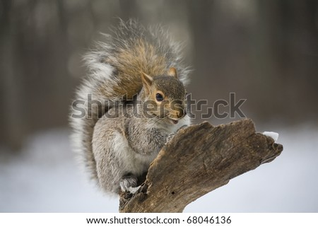 Wintertime tree squirrel that has a sunflower seed on its nose