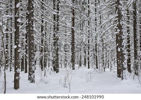Wintery taiga forest - stock photo
