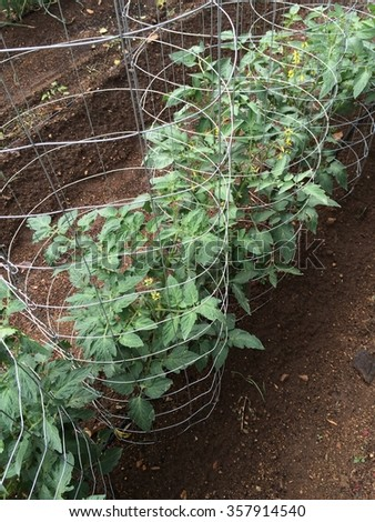 Wire caged row of tomatoes in vegetable garden
