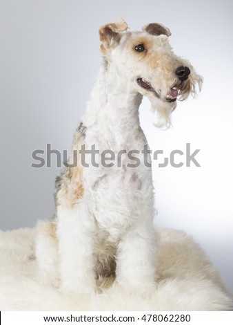 Wire Fox Terrier portrait. Image taken in a studio.