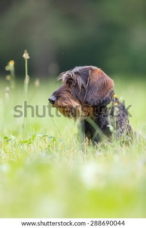 wire-haired dachshund from side - stock photo