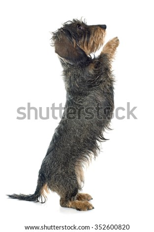 Wire haired dachshund in front of white background - stock photo
