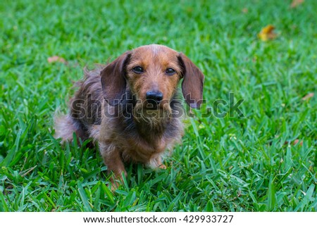 Wire-haired Dachshund in grass at the park looking at the camera