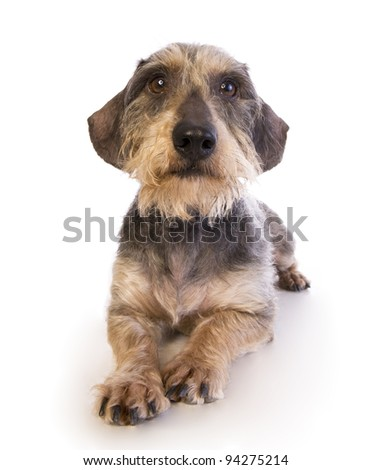 Wire haired Dachshund lying down isolated on white