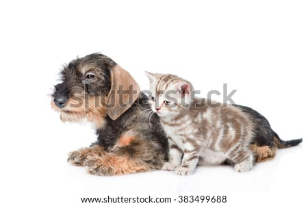 Wire-haired dachshund puppy and tiny kitten together in side view. isolated on white background