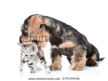 Wirehaired Dachshund Puppy Biting Kitten Isolated Stock Photo (Safe ...