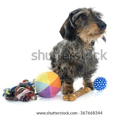 Wire haired dachshunds and toys in front of white background - stock photo