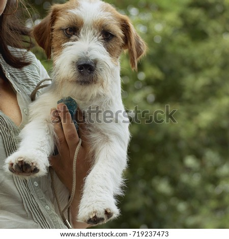 Wire-haired Jack Russell Terrier on the hand of his mistress