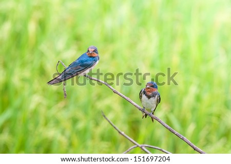 Wire-tailed Swallow , Little bird on top leaf rice. rice field - stock photo