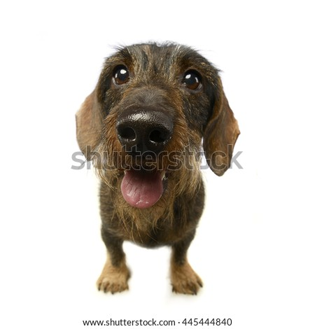 wired hair dachshund portrait a in studio