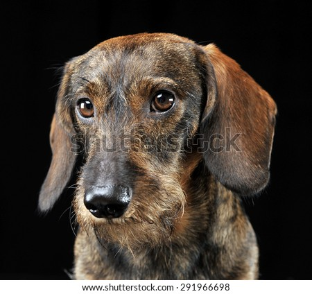 Wired hair dachshund portrait in a black photo studio