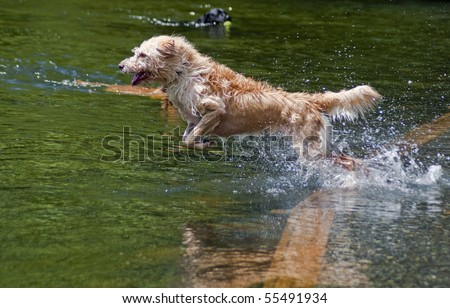 Wired haired mixed breed jumping into the water at a dog park. Dogs having fun playing in the river on a beautiful summer day. - stock photo