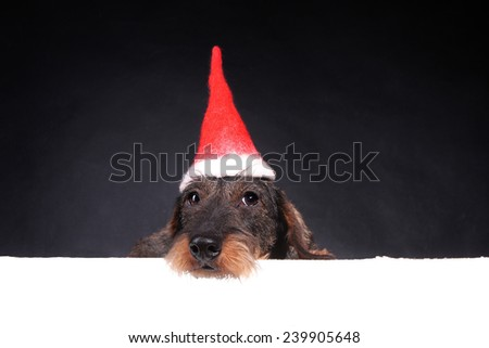 Wirehair dachshund in red cap for Christmas - stock photo